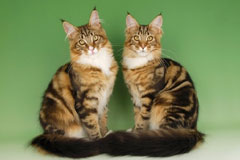 Порода кошек мейн