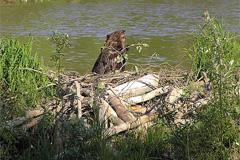 Способы охоты на бобра
